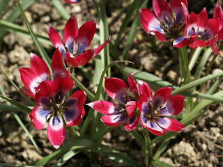 Tulipa hageri 'Little Beauty'