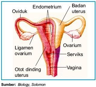 Bagian-Bagian Alat Reproduksi pada Wanita, Sumber: Biologi, Solomon