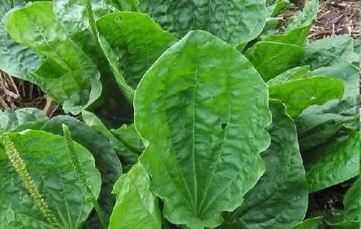 untuk membuat ramuan herbal dari tumbuhan daun sendok untuk menurunkan asam urat sebagai berikut :