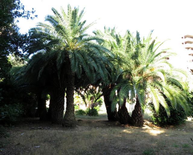 Copse of palm trees, Villa Regina Park, Via Calatafimi, Livorno