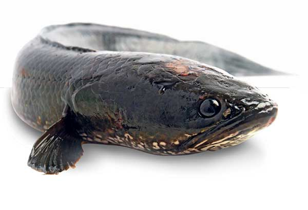 Manfaat Ikan Gabus Bagi Kesehatan