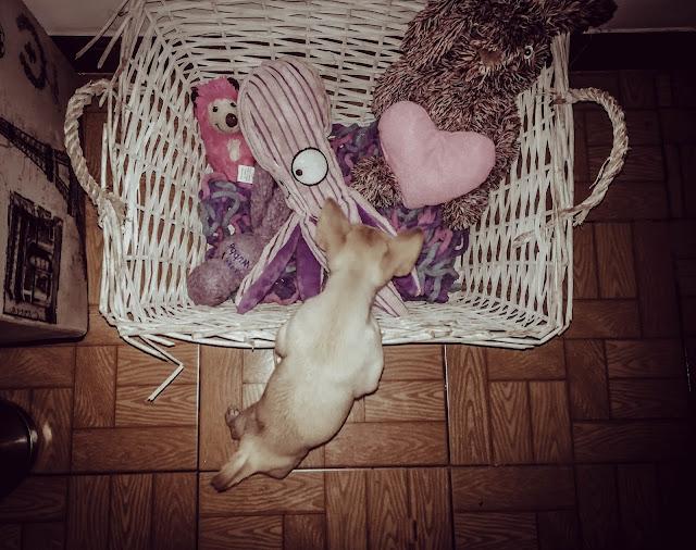 Chihuahuas la promesademia