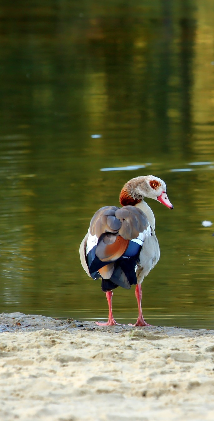 An Egyptian goose near a lake.