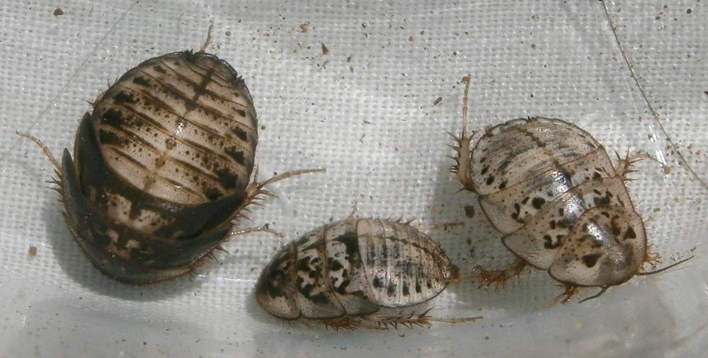 A.floridensis%25235.JPG