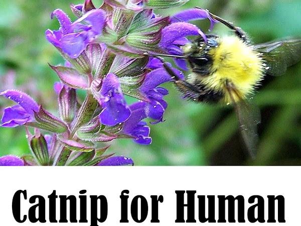 Catnip for Human Medicine