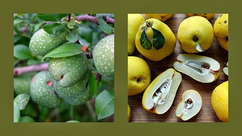pigwowiec, pigwowiec na krzaku, dojrzale owoce pigwowca, nalewka, pigwa, jak zrobic nalewkę, domowa nalewka, zycie od kuchni