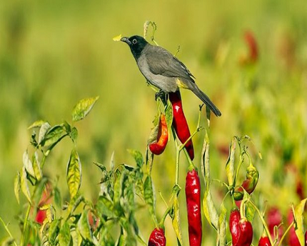 Terapi Cabai Agar Burung Menjadi Gacor Dan Moncer