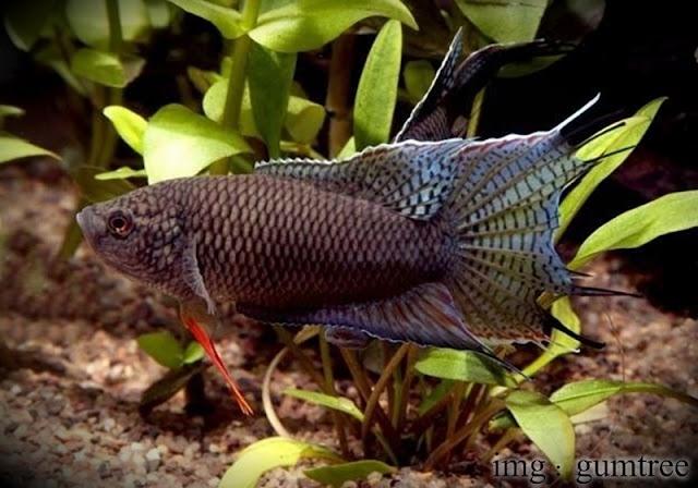11 Spesies Cupang Paradise, Cerminan Pesona Alam Liar