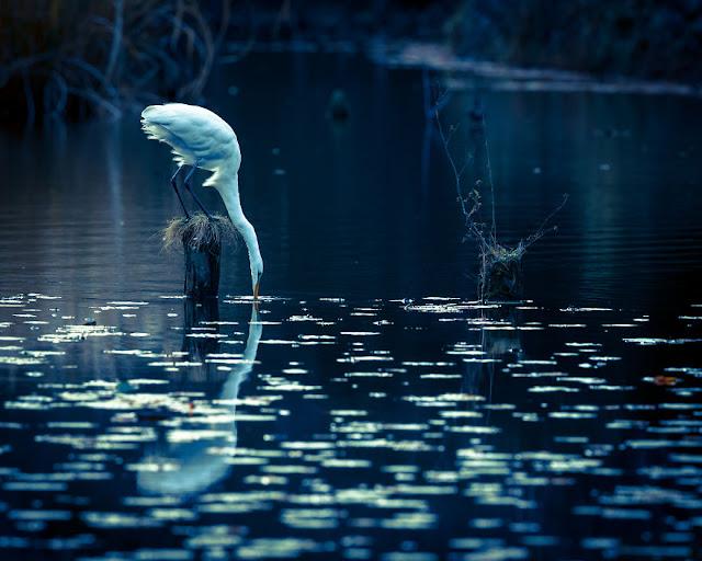 طائر البلشون الأبيض IMG_2200-57a993bf4681c__880