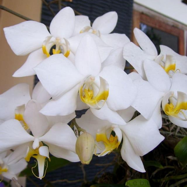 Anggrek White Dendrobium Bloom Size