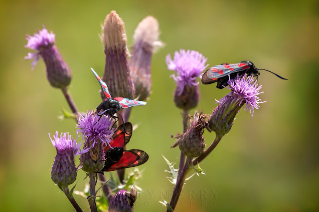 Black and red moths on pruple flowers at Ouse Fen Nature Reserve