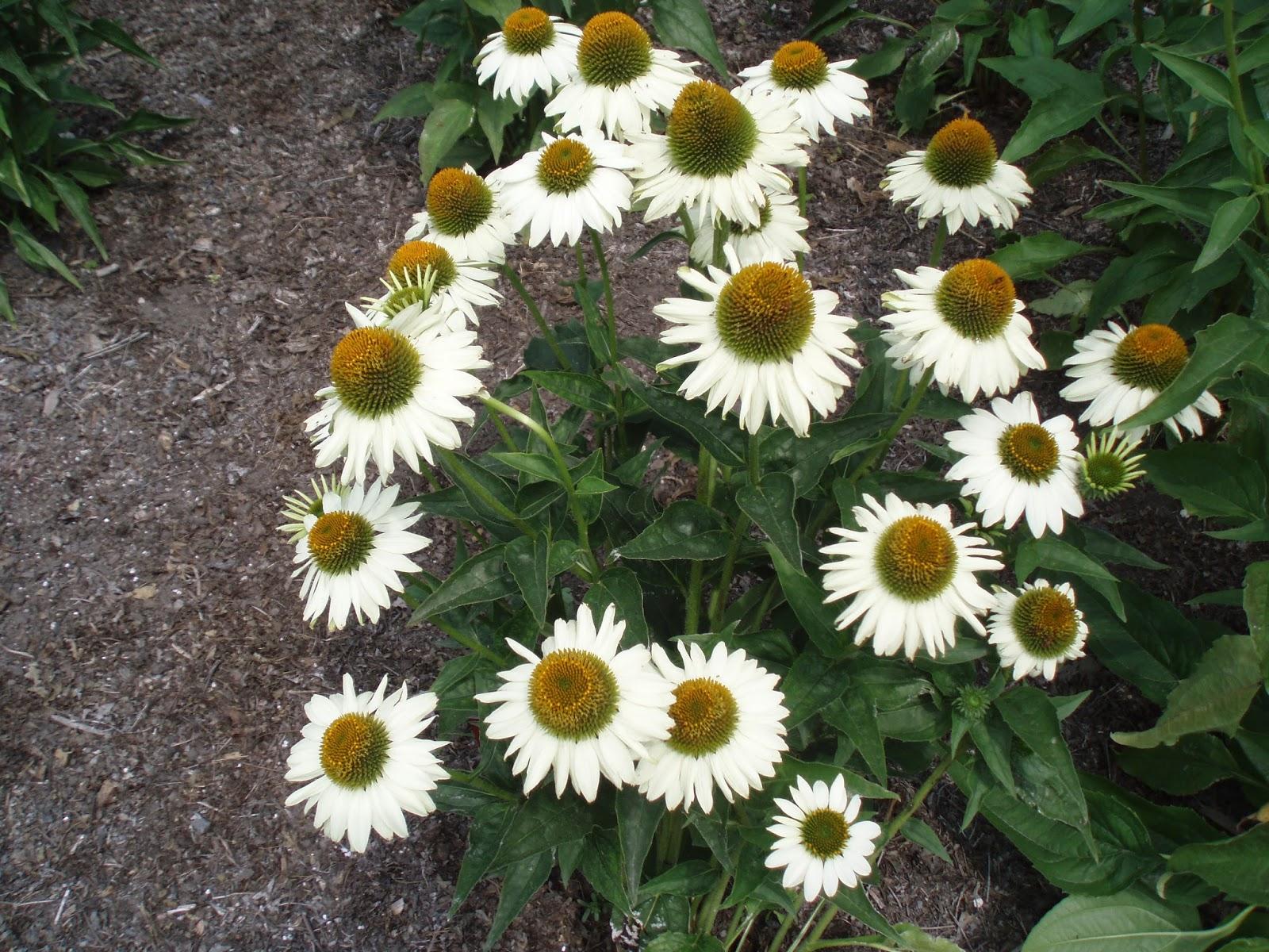 White Coneflowers Rotary Botanical Gardens