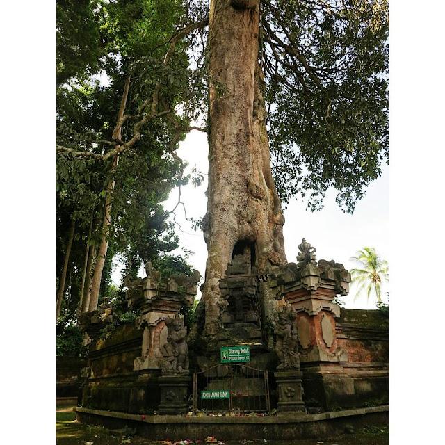 Bercengkrama Dengan Ratusan Kera di Pura Bukit Sari Kawasan Sangeh Monkey Forest, Badung, Bali