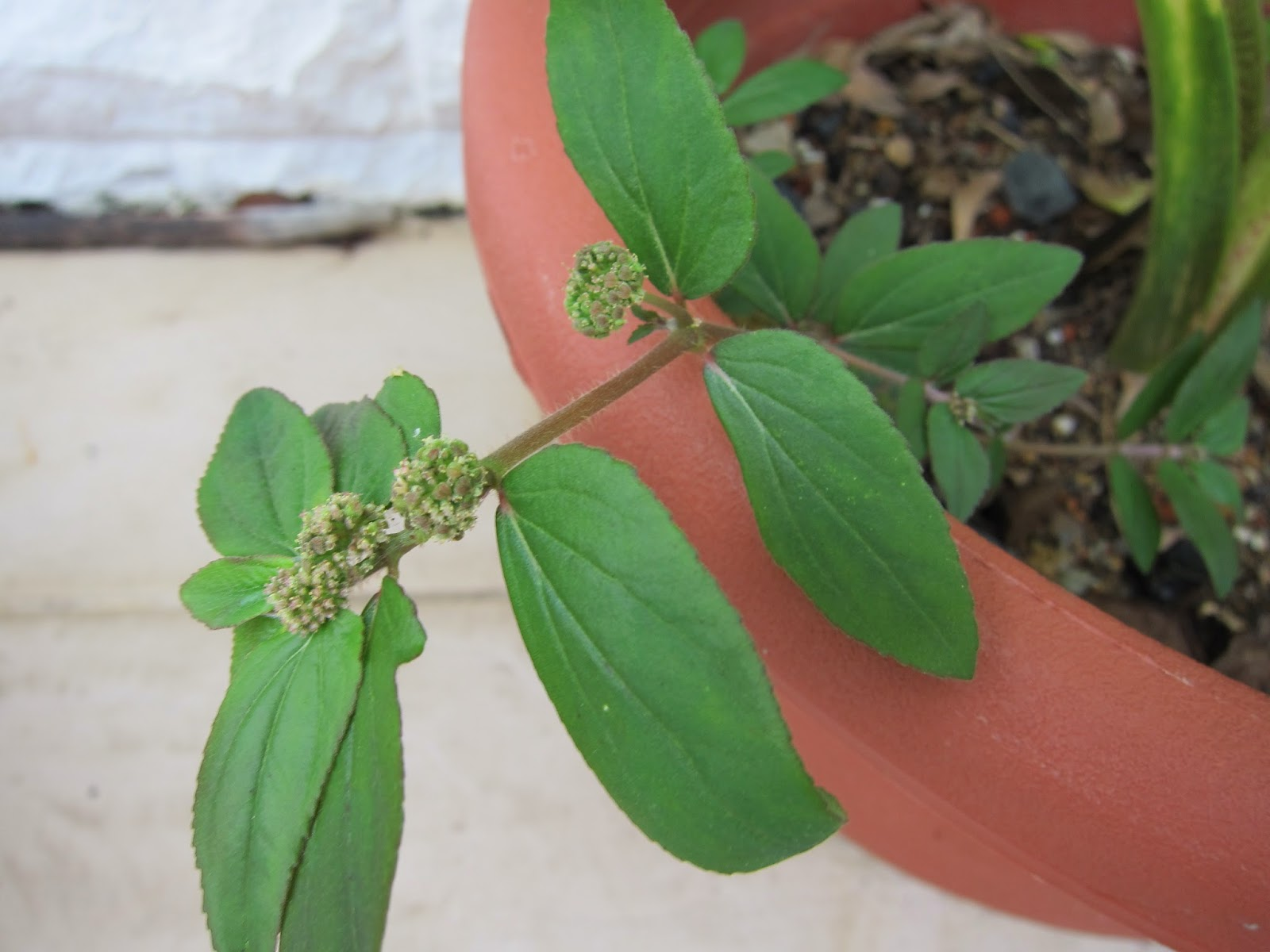 77  Tawa-tawa - a herb to treat Dengue Fever | Herbal remedies