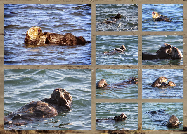 California Coast Drive - Sea Otters in Monterey