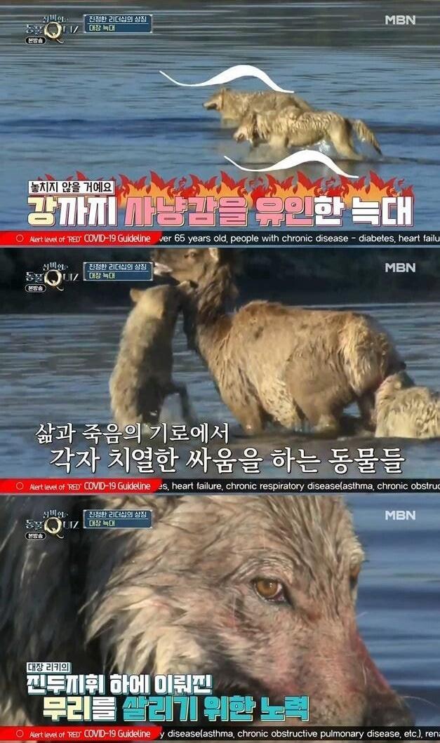 [유머] 늑대 세계에서 리더가 불륜을 저지르면 벌어지는 일 -  와이드섬