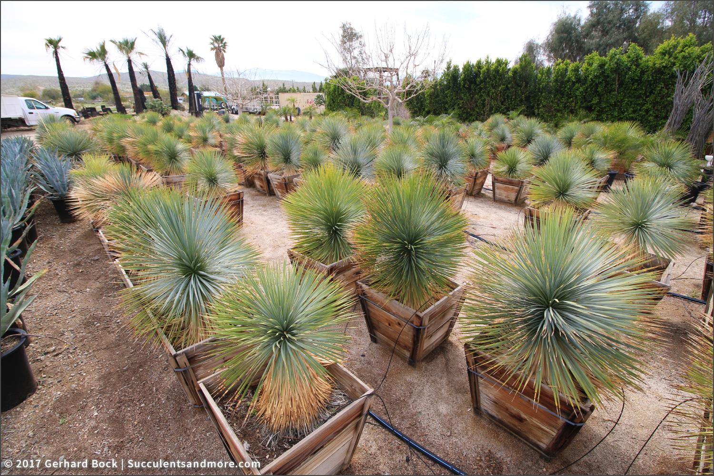 Beaked Yucca Rostrata