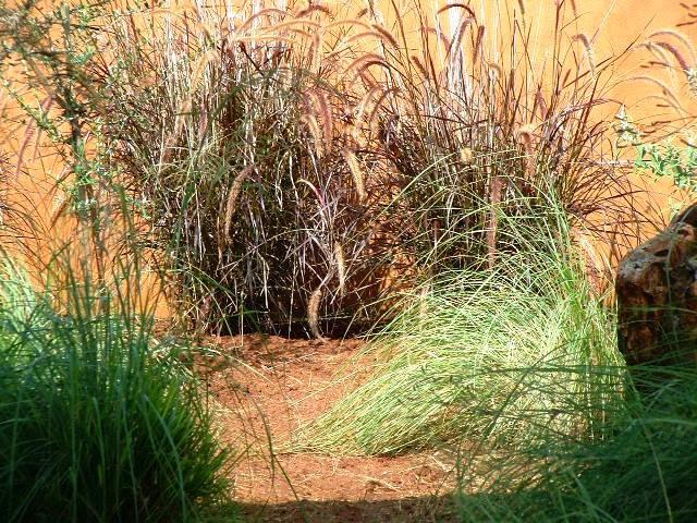 Gardening in africa ornamental grasses in the garden for Ornamental grasses for ponds