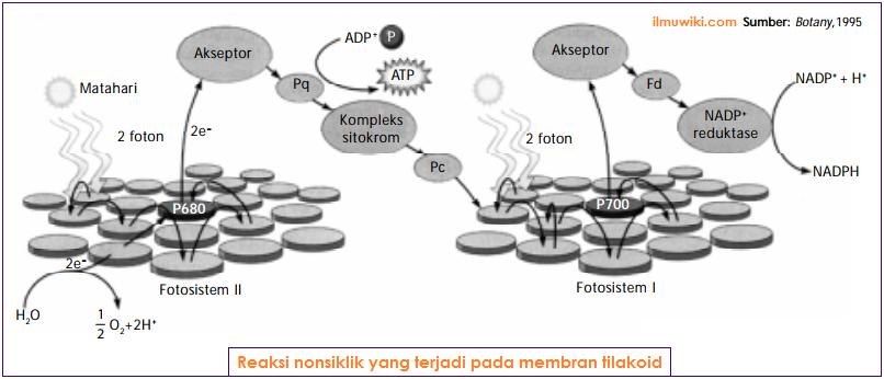 Reaksi nonsiklik yang terjadi pada membran tilakoid