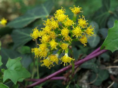 Flores amarillas del senecio trepador (Delairea odorata)