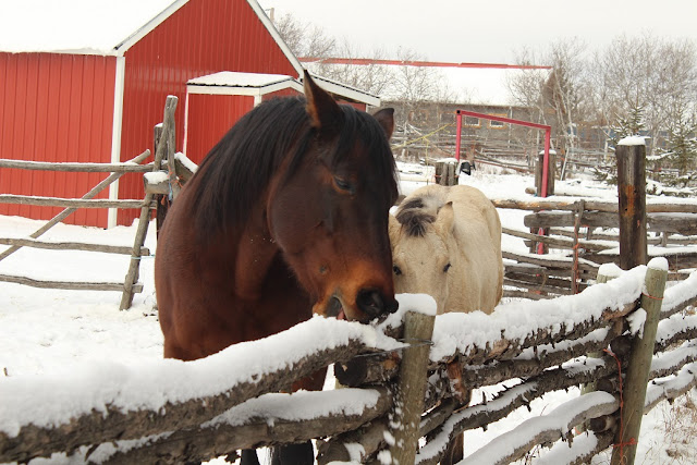 Brown and white horse eating snow on rail fence