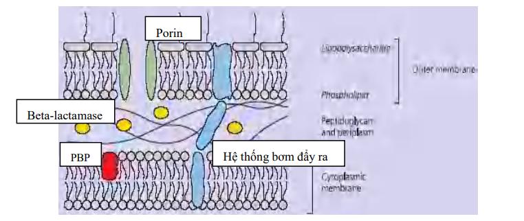 Sự tác động (riêng rẽ/ phối hợp) của beta-lactamase (cả ESBL), giảm tính thấm qua màng ngoài (porin), thay đổi PBPs và hệ thống bơm đẩy dẫn đến sự đề kháng beta-lactam ở trực khuẩn Gram-âm.