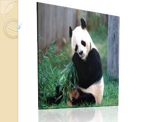 salah satu hewan yang hampir punah adalah panda
