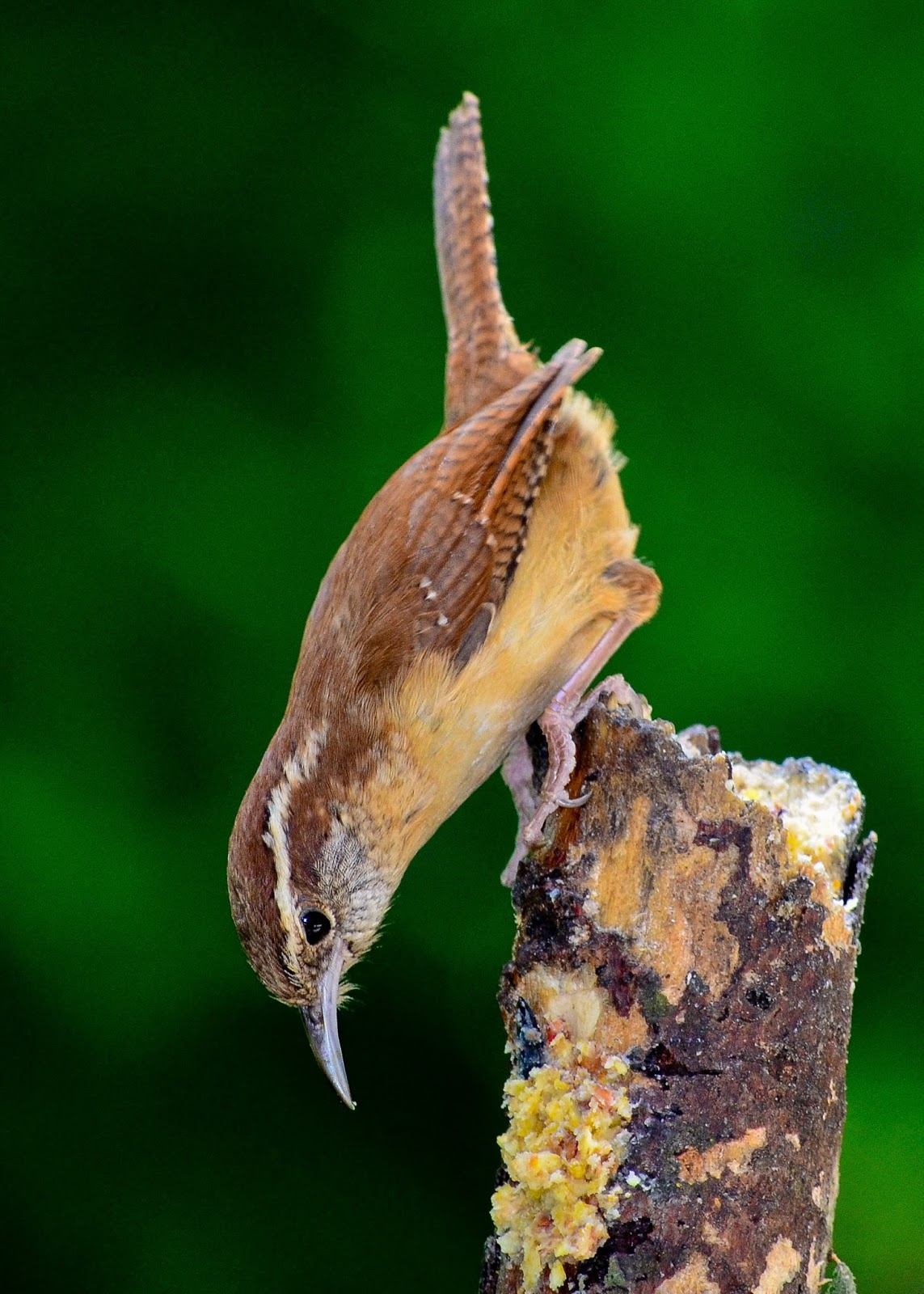 Image of a jenny or house wren.