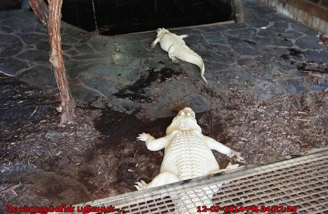White Alligators in Myrtle Beach