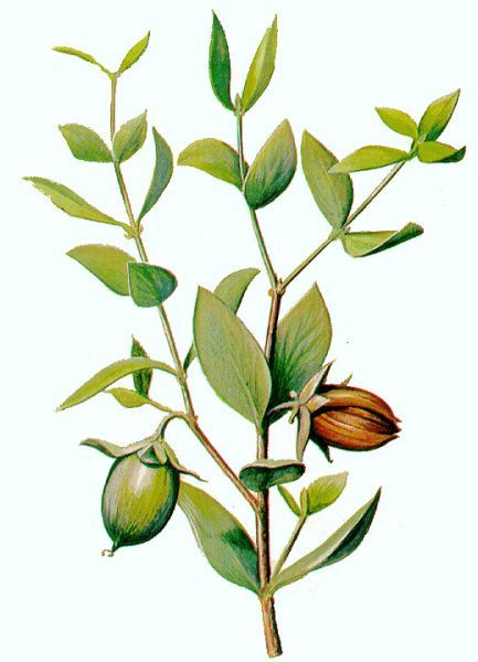 Jojoba illustration