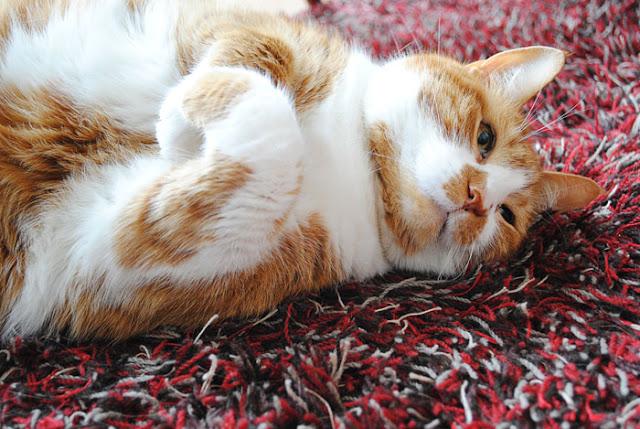 Lieve kat ligt op zijn rug uit te rusten.
