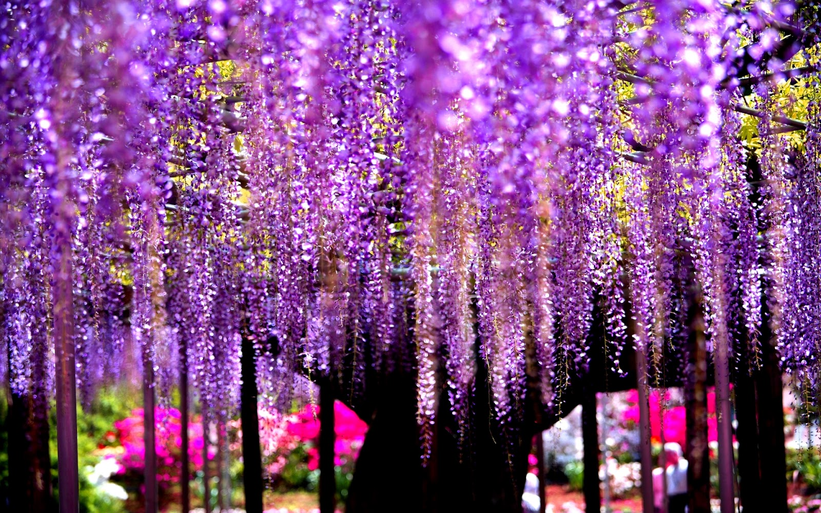 Wallpaper wisteria tree is extreem beauty of nature for Immagini apple hd