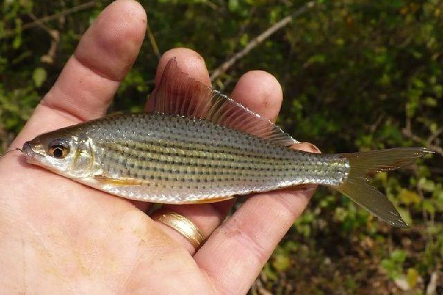 Budidaya Ikan Nilem