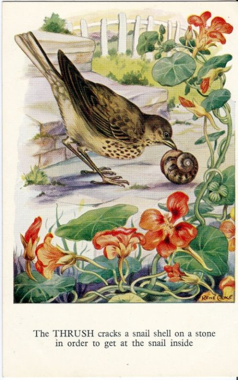 Rene Cloke Postcard the Thrush