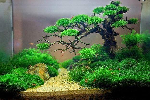 Hồ thủy sinh bon sai cấy rêu - tác giả Trung Kala
