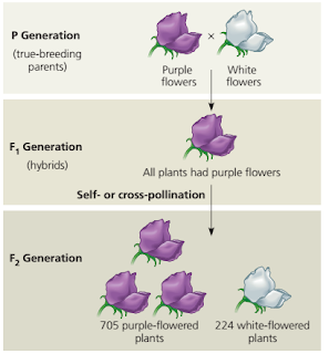 Pola pewarisan sifat mendel, pola pewarisan 3 :1, pola pewarisan 3 1, persilangan tanaman pea warna ungu dan warna putih, persilangan kacang pea, hibridisasi kacang pea