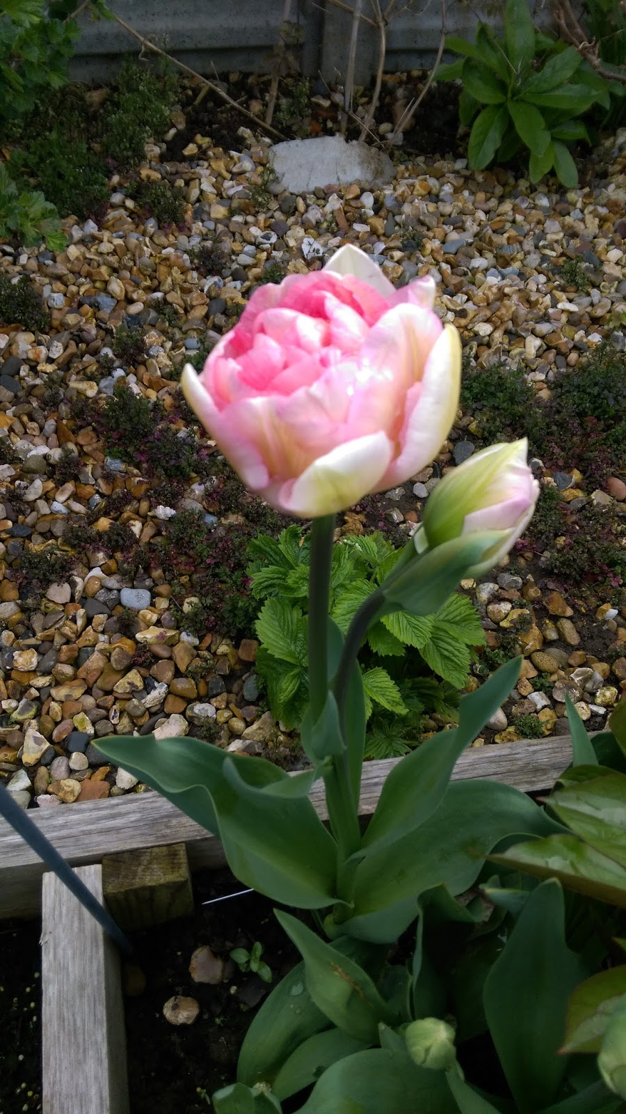 Gardening with magic fleeting wonder of tulips angelique looks more like a peony with blush pinkwhite with a dash of green petals and has a delicate sweet smell unfortunately some of the flowers mightylinksfo