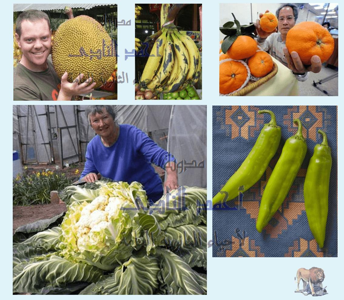 تصنيف الطفرات تبعاً لنوعها - الطفرات الصبغية - التضاعف الصبغى – ثمار بلا بذور كبيرة الحجم - الثالث الثانوى