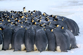 https://www.sblanc.com/phototheque-polaire/photos-dantarctique/photos-de-manchot-empereur/