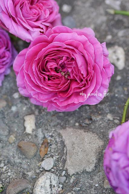trandafir roz de gradina  cel mai frumos parfum