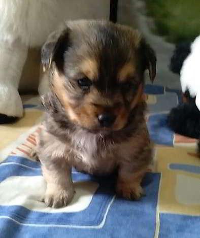cachorro cruce pinscher