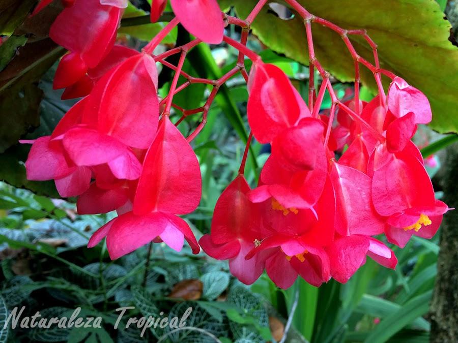 Variedad de begonia con grandes flores