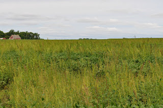 waterhemp-in-soybeans