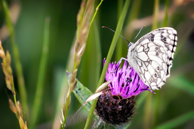 Wildlife photography of a marbled white butterfly at Barnack Hills & Holes
