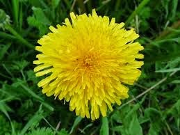 dandelion-flower-aloe-vera-health