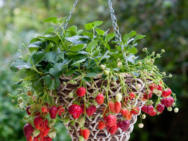 how to grow strawberries in pots and containers the. Black Bedroom Furniture Sets. Home Design Ideas