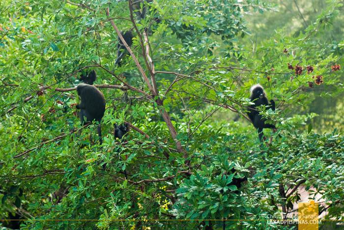 Lone Pine Hotel Penang Monkeys