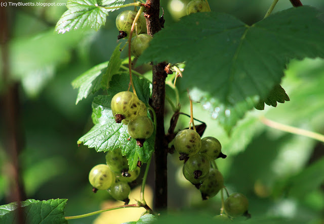 The Green Currant 'Vertti' is my favourite berry.