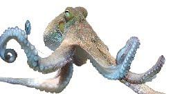 Polvo (Octopus vulgaris)
