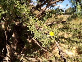 Acacia farnesiana, Huizache